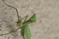 Praying Mantis (in_focus?) Tags: california mantis insect orangecounty fullerton 2010 d90