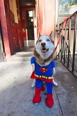 Princess Superman (JoelZimmer) Tags: halloween husky tokina ultrawide nikond90 doginacostume tokina1116mmf28