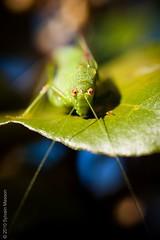 Dans les yeux (Tintin44 - Sylvain Masson) Tags: macro olympus insecte sauterelle feuille e510 50f2