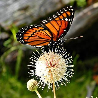 Florida Viceroy on Buttonbush