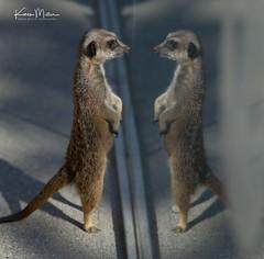 Meerkat Reflections (Karen Miller Photography) Tags: edinburghzoo zoo captivity edinburgh captive meerkat reflections animal nikon rzss scotland enclosures karenmillerphotography