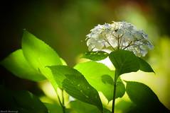 嬉し泣き (March Hare1145) Tags: 花 flower 植物 plant 紫陽花 日本 japan
