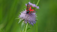 Blutströpfchen (Oerliuschi) Tags: blutströpfchen nachtfalter kleinfalter schmetterling butterfly widderchen insekten insect nahaufnahme panasonicgh5 lumix