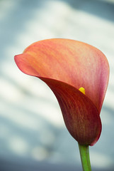 Coy Calla (marktmcn) Tags: calla lily red dappled background zantedeschia flower bloom inflorescence spathe d80 nikkor 18135mm
