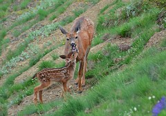 Proud Doe (CindyFullwiler Nature Photography) Tags: doe fawn olympic national forest wildlife mammals deer mountains