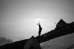 Rampage (Ettore Trevisiol) Tags: ettore trevisiol nikon d7200 nikkor 18 70 d300 tokina 11 20 55 200 gran paradiso national park mountain landscape ibex black white