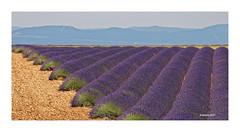 Plateau de Valensole - Lavendel auf 700 m Höhe (Babaou) Tags: provencealpescôtedazur provence frankreich france südfrankreich paca alpesdehauteprovence lavendel lavande plateaudevalensole valensole dxo lalonde2017