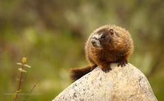 Marmot (scepdoll) Tags: grandtetonnationalpark wyoming marmot findyourpark wildlife animal pilgrimcreekroad marmots