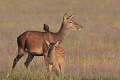 Family and friends (Hammerchewer) Tags: reddeer deer hind fawn jackdaw animal wildlife outdoor