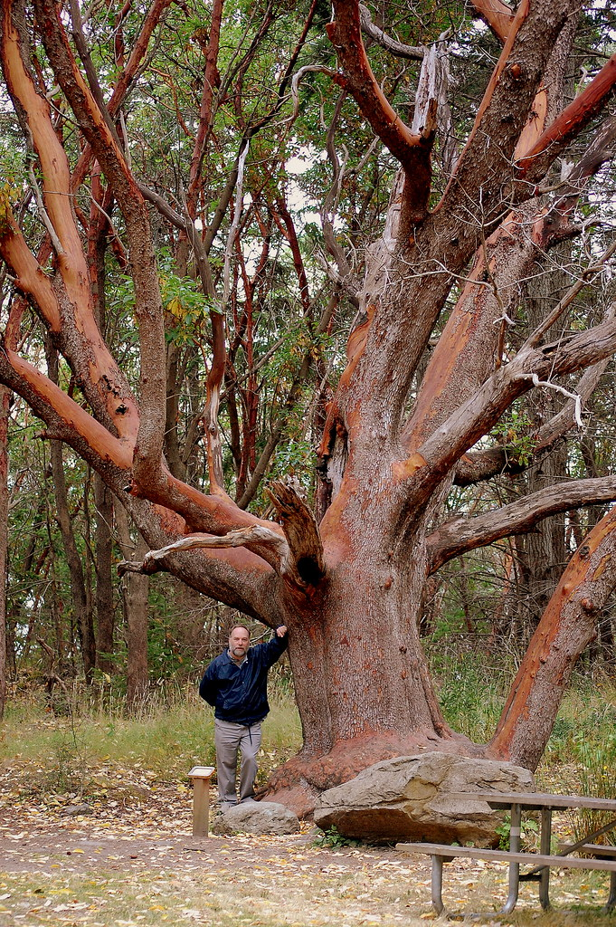 C & Madrone Tree
