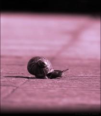 Caminando. (Ennio Pereira R.) Tags: bug dof snail duotone escargot schnecke bicho caracol chiocciola cargol duotono anawesomeshot impressedbeauty