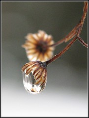 Tiny Winter Wildflower and Waterdrop (#974) (protophotogsl) Tags: winter brown white black flower macro closeup beige waterdrop december quebec tiny wildflower raindrop laurentides magicalmoments laurentianmountains 야생화 abigfave lacsupérieur platinumheartaward waterdropsmacros protophotogsl waterenvirons magicunicornverybest abigfave5awardthread goldsealings heartawards8awardthread img8077midneg10 lacàléquerre qualitysurroundings~4awardthread