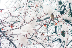 Snowy morning 1 (Mourner) Tags: trees winter white snow bird leaves birds branches ukraine housesparrow passerdomesticus passeriformes  passeridae