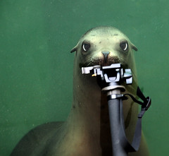 The Sea Lion and my Monopod 2 (pe_ha45) Tags: californiasealion zalophuscalifornianus kalifornischeseelwen zoogelsenkirchen otariedecalifornie