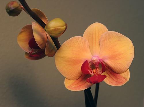 Phalenopsis hybrid