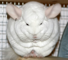 Devious (wisely-chosen) Tags: january chinchilla lightning picnik 2010 adobephotoshopcs4 pinkwhitechinchilla tamronaf90mmf28dispam11macrolens