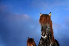 Beautiful day in the stables today in Iceland (Anna.Andres) Tags: horses horse 350d iceland canoneos350d sland hestar icelandichorses slenskihesturinn goldstaraward magicunicornverybest annagumundsdttir