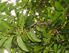 Closeup of Diospyros maritima at Fairchild