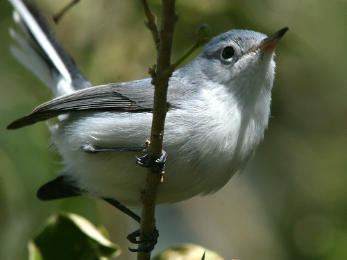 Blue-gray Gnatcatcher 20100113