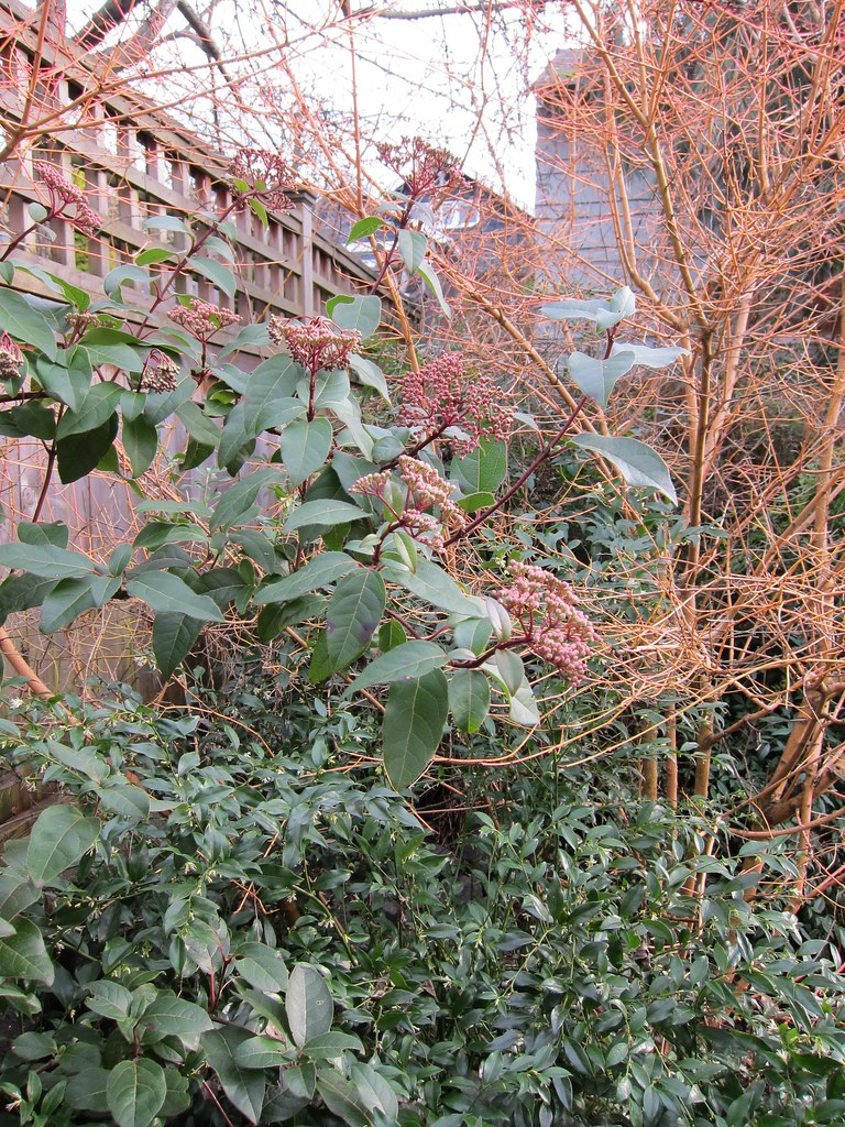 Viburnum, sarcococca and yellow-twig dogwood
