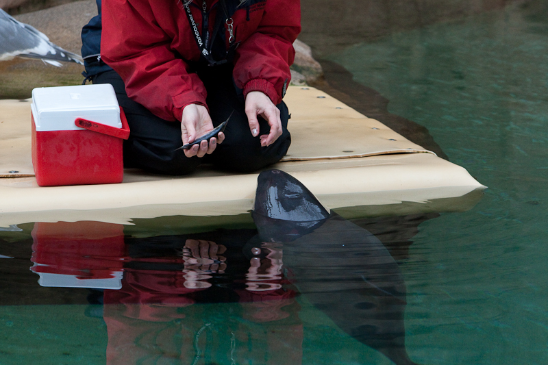 Rescued Harbour Porpoise