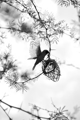 Flight (Lauren Barkume) Tags: africa wild blackandwhite bw white black tree bird up leaves animal yellow vertical southafrica photography see wings nest branches flight wing translucent through thorns thin weaver delicate slender gauteng ploceidae cradleofhumankind nikond90bw laurenbarkume