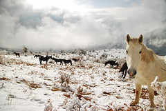 wild horses in the Balkan (.:: Maya ::.) Tags: park wild horse snow eye nature beauty landscape maya central bulgaria national balkan bulgarie bulgarien   anawesomeshot        mayaeyecom mayakarkalicheva  wwwmayaeyecom