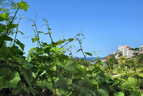 Vitis vinifera (rq) - 01
