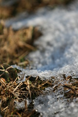 Old (nati nati) Tags: brown white macro ice canon daylight outdoor oldgrass 400d