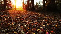 take a bath in sunset (xiaoran.bzh) Tags: trip travel autumn winter light sunset sun color fall nature leaves automne landscape lumix leaf scenery europe panasonic paysage 风景 冬 日落 rennes 大自然 欧洲 秋天 法国 叶 169format 松下 秋叶 lx3 雷恩 dmclx3 panasoniclx3