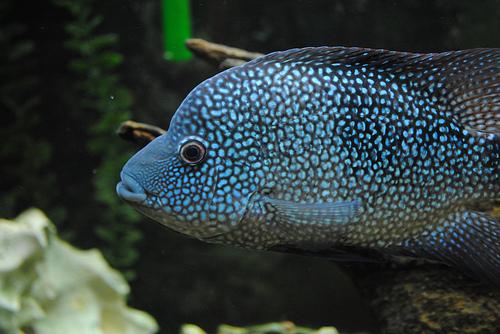Rio Grande Cichlid