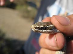 Serpentn (Rodrigo Chiong) Tags: chile naturaleza macro eye nature ojo los chili desert snake north culebra desierto canela norte rulos serpiente escamas illapel escama misiones2010