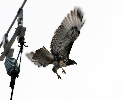 redtailed hawk has launched from pole crop