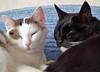 We are doing much better. (Cajaflez) Tags: pet white black cute cat kat chat katze cortez gatto poes kater jasmijn cc100 kissablekat bestofcats niesziekte catmoments saariysqualitypictures felineupperresporatoriedisease