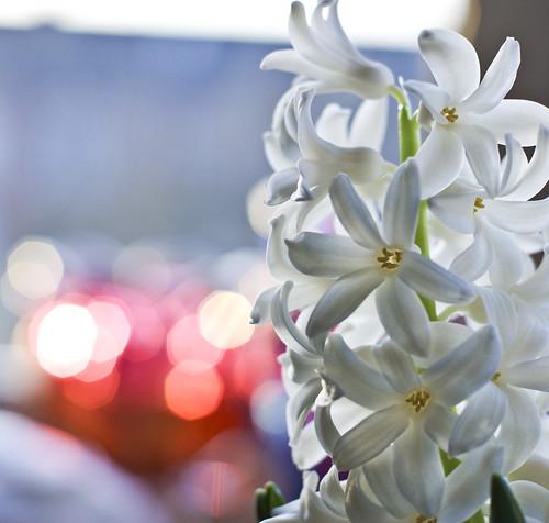 24/1/2010 -White Hyacinth
