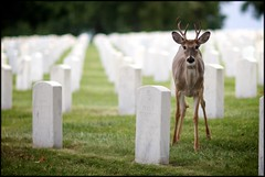 National Cemetery Jefferson Barracks (Bettina Woolbright) Tags: cemetery graveyard tombstone stlouis deer saintlouis bettina nationalcemetery jeffersonbarracks jeffersonbarracksnationalcemetery woolbright bettinawoolbright bettinawoolbrightphotography