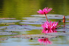 Nature's own flower arrangement (j_aubz) Tags: pink lake flower reflection nature floral pond flora waterlily lily lotus tamron pinkwaterlily pawb d3000 18250mm napwc parkswildlife