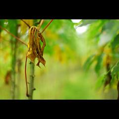 (sash/ slash) Tags: plant farmers kerala vegetable agriculture root tapioca kappa kannur thodupuzha
