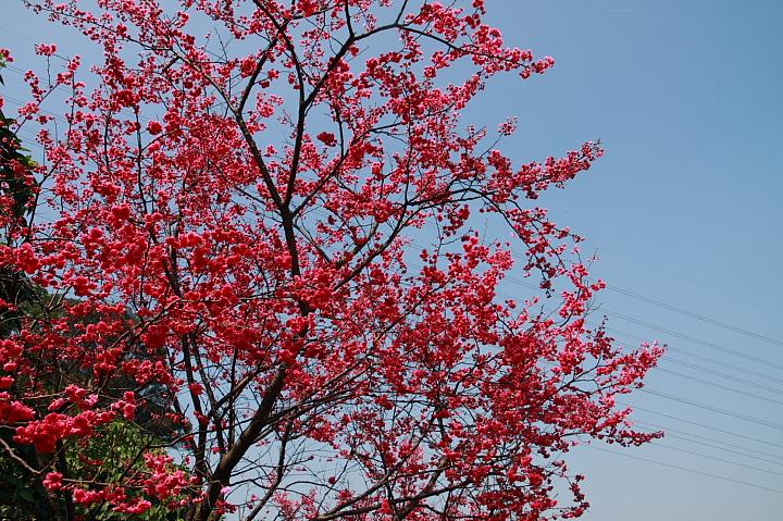 樹林大同山青龍嶺的櫻花林0032