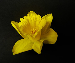 daff on black (coxy2001) Tags: ngc excellentsflowers natureselegantshots mygearandme mygearandmepremium
