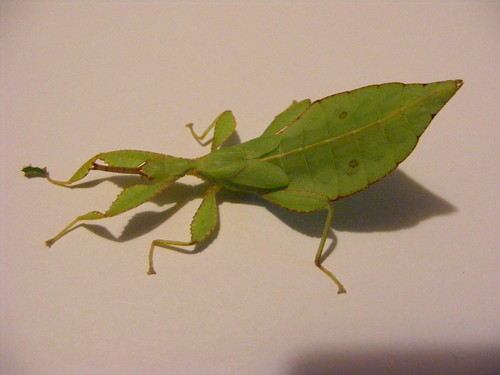 Immature Male Leaf Insect Showing Elongated Abdomen