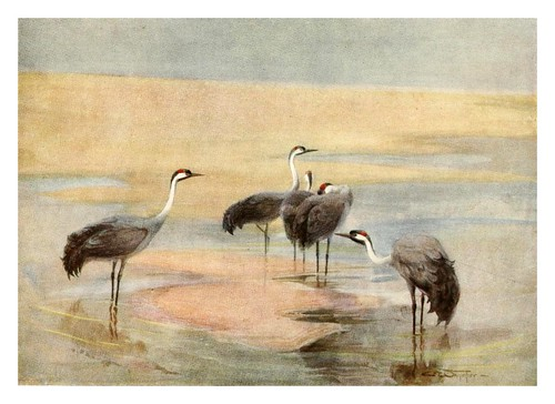 018-Grulla común-Egyptian birds for the most part seen in the Nile Valley (1909)- Charles Whymper