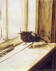 Blackbird on a Windowsill - Gouache Painting by Steve Greaves (Steve Greaves) Tags: light brown black detail male bird art texture window nature illustration watercolor painting student artwork paint ray sad diploma emotion painted wildlife fine injury naturalhistory ledge watercolour 1983 harris melancholy gouache turdusmerula windowsill blackbird frisk injured realism realistic andrewwyeth photorealistic subdued photorealism limitededitionprint ruffledfeathers cs10 naturalistic illustrationboard poigniant smoothsurface dyfedcollegeofart stevegreaves hotpressed stephengreaves 12x14ins raymondching