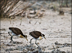 jacana spinosa (Nicoletta Fabbri) Tags: birds guatemala uccelli northern avifauna jacana spinosa jancana