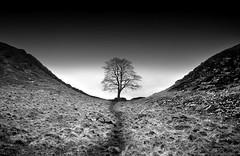 A Well -Trodden Path (*K*aren) Tags: blackandwhite bw tree monochrome explore northumberland getty hadrian hadrianswall sycamoregap welltrodden sonya100 explorefp forladymonochrome awelltroddenpath explore154feb19th2010 sycamoregap2 explore26feb20th2010