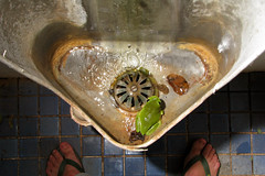 To pee, or not to pee. (Michael_Whitehead) Tags: tree green nature canon toilet frog drain outback urinal greentreefrog caerulea litoriacaerulea topend speedlite litoria s5is 430exii