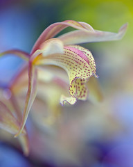 Orchid Memories (Paul in Japan) Tags: ocean orchid flower macro festival japan ngc grand prix international cymbidium naturesfinest japangrandprixinternationalorchidfestival2010 boufcontest3mar10