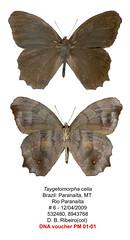 Taygetomorpha celia