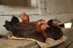 a bunch of hens (qonita) Tags: chicken indonesia hen garut tasik tasikmalaya kampungnaga
