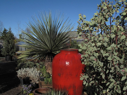 Cistus nursery red pot and yucca rostrata